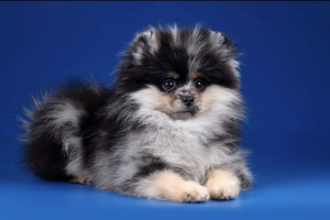 Pomeranian Online Listings