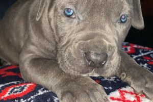 Cane Corsos for Rehoming