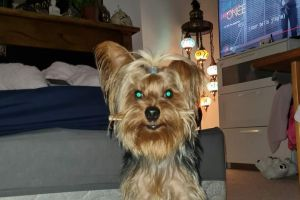 Yorkshire Terrier For Stud in the UK