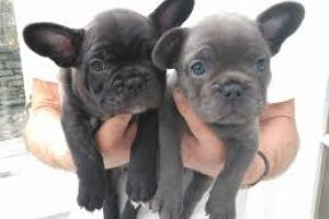 French Bulldogs Wanted