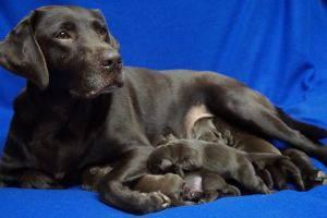 Labrador Retrievers for Rehoming