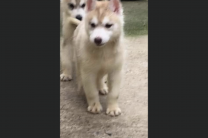 Siberian Huskies for Rehoming