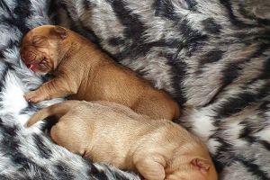 Old Tyme Bulldog Dogs Breed