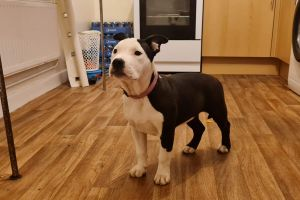 American Bully Dogs Breed