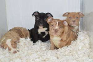 American Bully Advertisement UK Pets