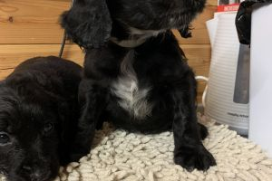 Available Cocker Spaniels