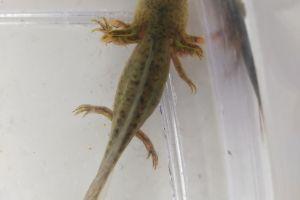 Axolotl For Sale in Lodon