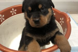 Cute Rottweiler For Sale