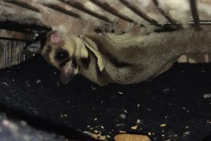 Sugar Glider For Sale in the UK