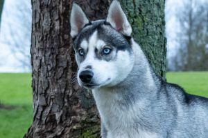 Siberian Husky Online Ad