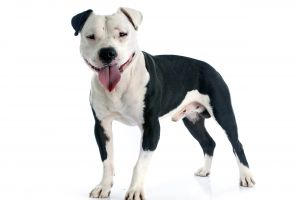Cute Staffordshire Bull Terrier Wanted