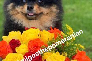 Available Pomeranians