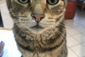 Bengal Wanted in Lodon