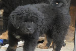 Tibetan Mastiff Online Listings