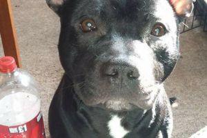 Staffordshire Bull Terrier Online Listings