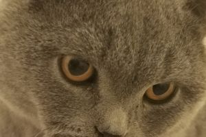 British Shorthair For Stud in the UK