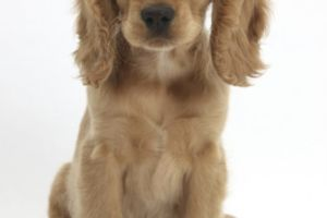 Cocker Spaniel Wanted in Great Britain