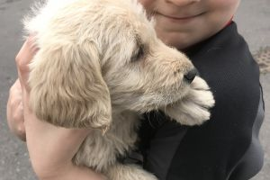 Available Labradoodles