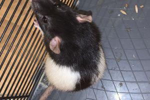 Rat Advertisement UK Pets