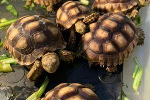 Tortoises for Rehoming