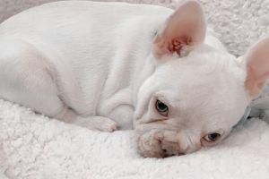 Cute French Bulldog For Sale