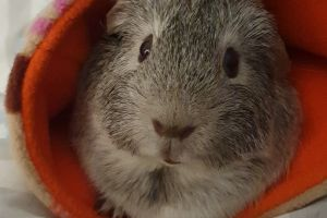 Guinea Pig Advertisement UK Pets