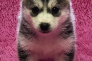 Cute Pomsky For Sale