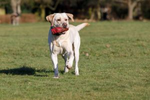 Available Labrador Retrievers