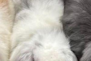 Mini Lop Rabbits Breed