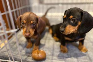 Dachshund Dogs Breed