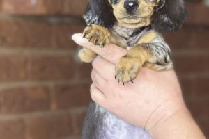 Dachshund For Sale in Great Britain
