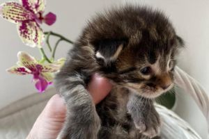 Available Maine Coons