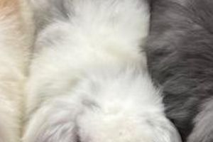 Mini Lop Dogs Breed