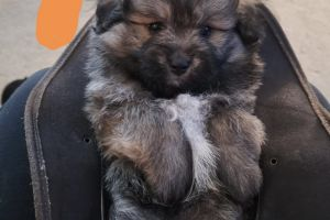 Poochons For Sale