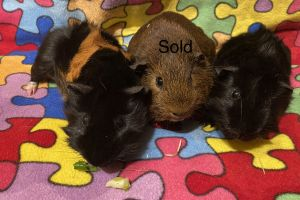 Guinea Pig For Sale in Lodon