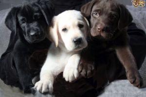 Labrador Retriever Wanted in Lodon
