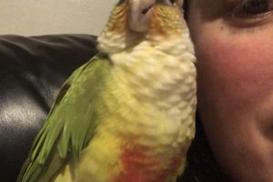 Available Conures