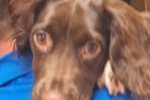 English Springer Spaniel For Sale in the UK