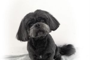 Lhasa Apso Dogs Breed