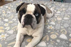 French Bulldog Advertisement UK Pets