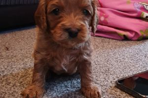 Cavapoo For Sale in Great Britain