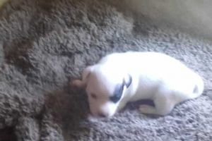 Jack Russell for Rehoming