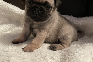 Cute Pug For Sale