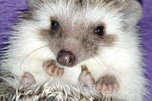 Pygmy Hedgehog Advertisement UK Pets