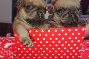 Pug Online Listings