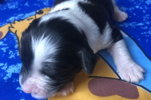 Jack Russell For Sale in the UK