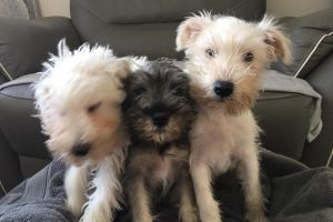 Schnauzer for Rehoming