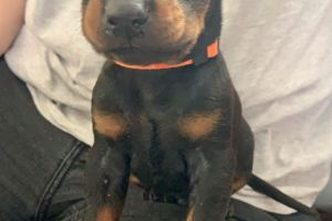 Doberman For Sale in Lodon