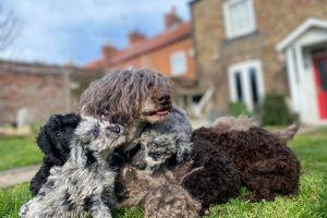 Miniature Poodle Advertisement UK Pets