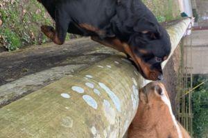 Rottweiler Advertisement UK Pets